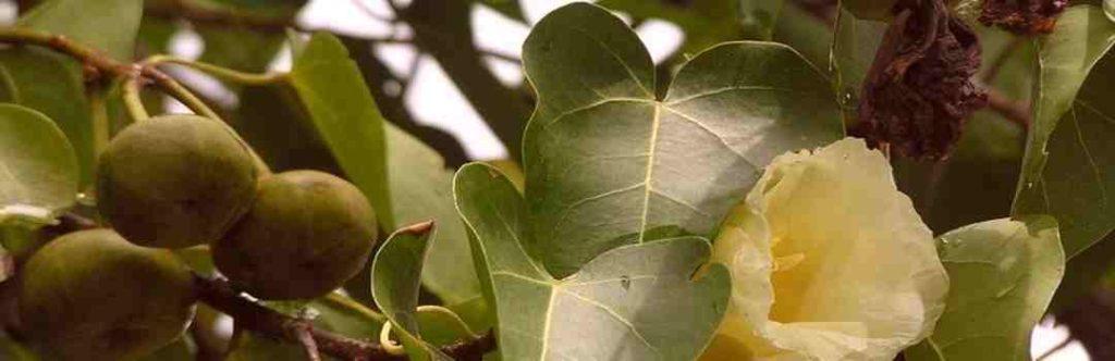 самое ядовитое дерево убийца Манцинелла таро джунга